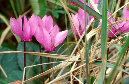 Flora Risnjak