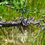 Paklenica slange