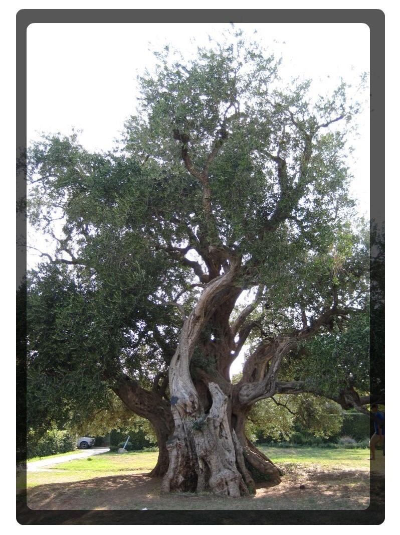 gammelt oliventrae