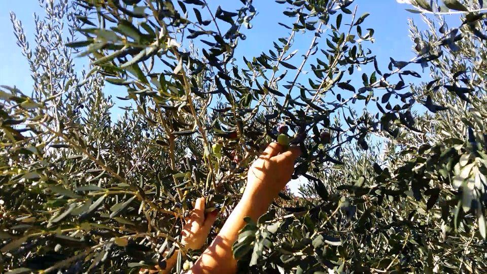 Oliven-plukning