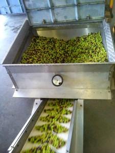 Oliven-produktion1